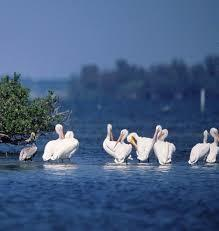 White Pelicans of Tampa Bay